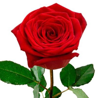 Роза  Red naomi 60см