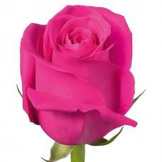 Роза Pink floyd 70см