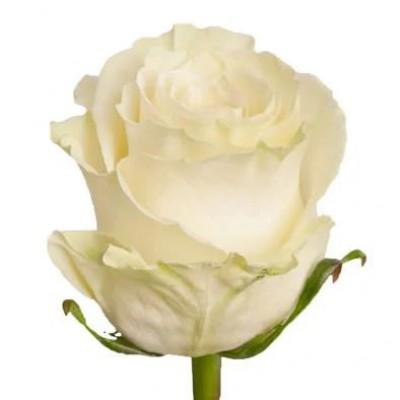 Роза Mondial 70см