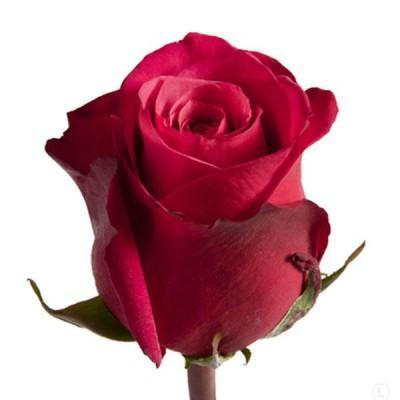 Роза CherryO 70см