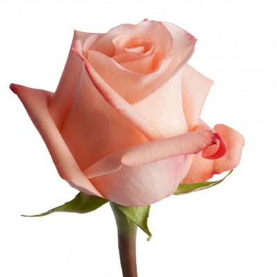 Роза Engagement